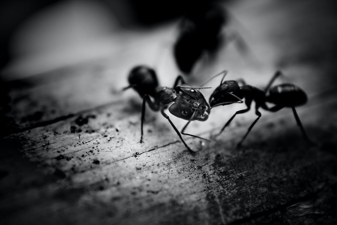 infestation ants
